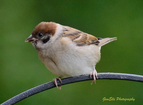Tree Sparrow Perched | by GemElle Photography so busy just now sorry