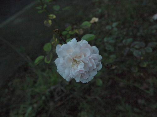 white pink rose | by Ure.Eljay