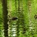 ducks in green