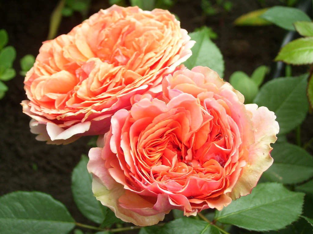 Image result for duchess of cornwall rose