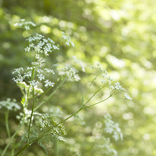 Queen Anne's Lace | by City of Blackbirds