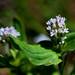 Plectritis macrocera (Verbenaceae); White plectritis