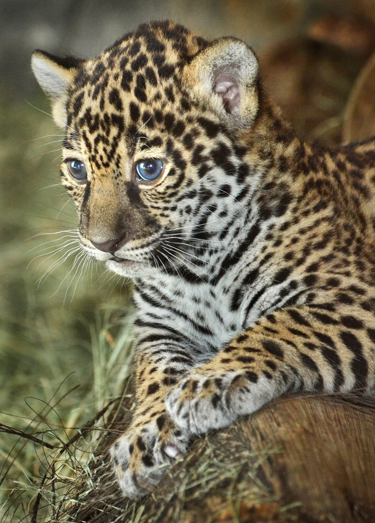 ol blue eyes maderas one of two new jaguar cubs at the