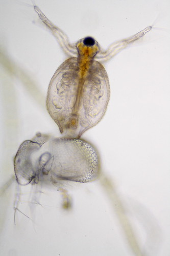 Water Flea Molting | by Specious Reasons