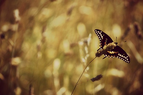 Butterfly | by SeptemberRayne