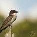 MAP7112_679 Kingbird Portrait