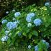 Hortensias et hydrangeas, un après-midi de juillet au jardin, Bosdarros, Béarn, Pyrénées Atlantiques, Aquitaine, France.