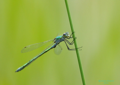 EMERALD DAMSELFLY ~ Lestes sponsa | by jel 1969