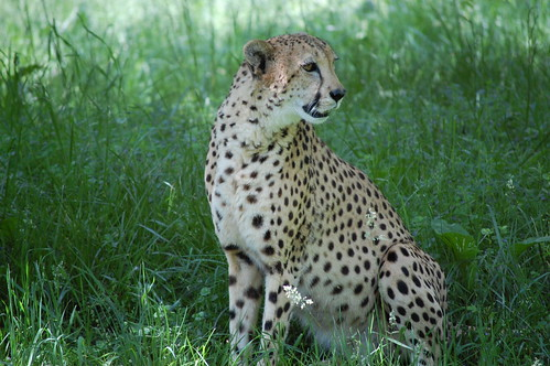 knullad hårt cheetah