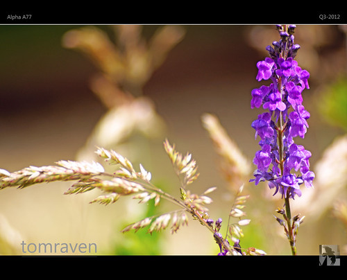 Grasses III - Gold 'n Purple Dreams | by tomraven