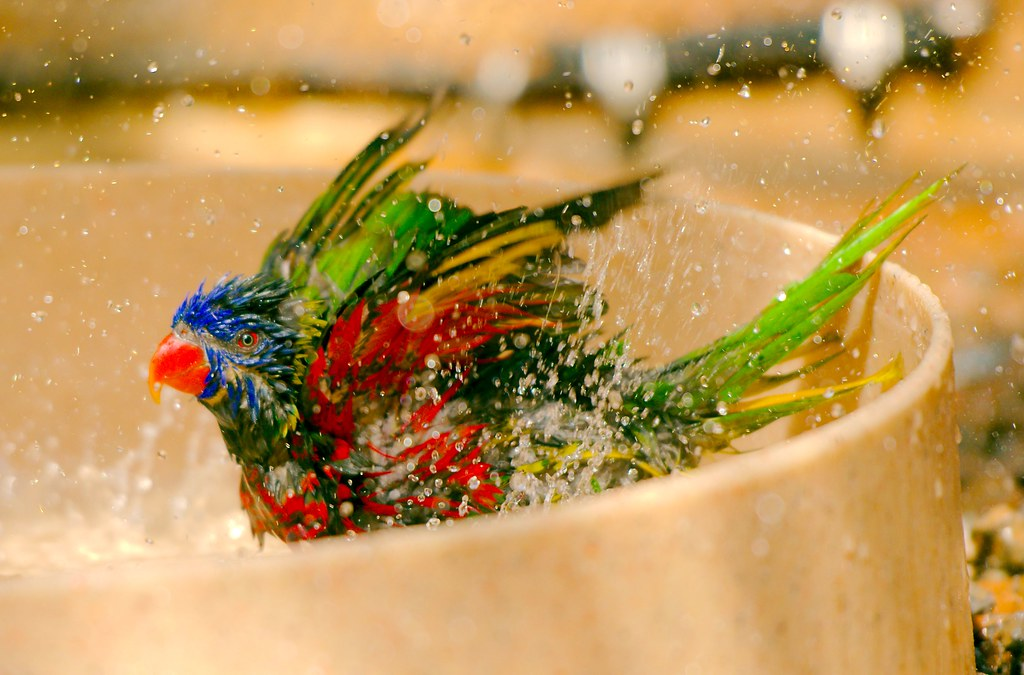 Rainbow Lorikeet_4