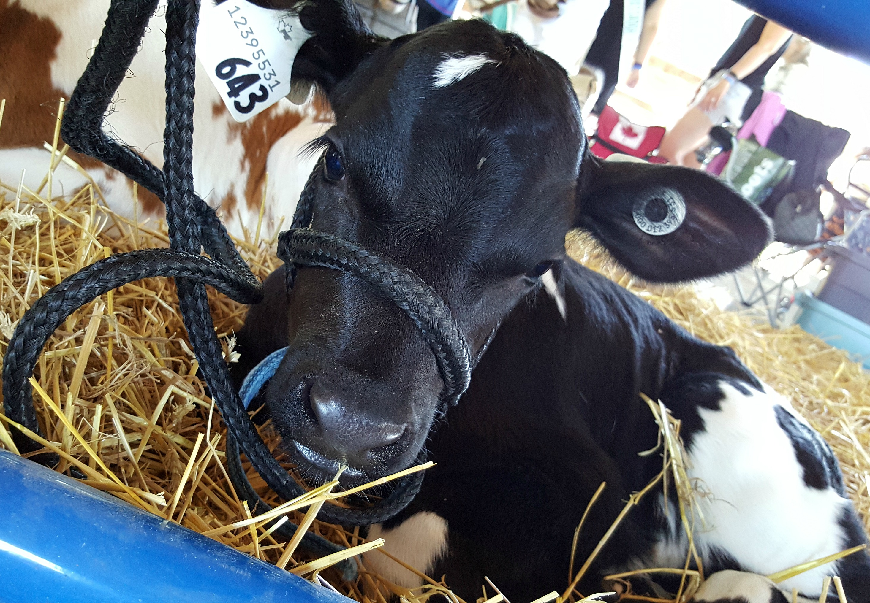 Baby Calf Sutton Fair 2016