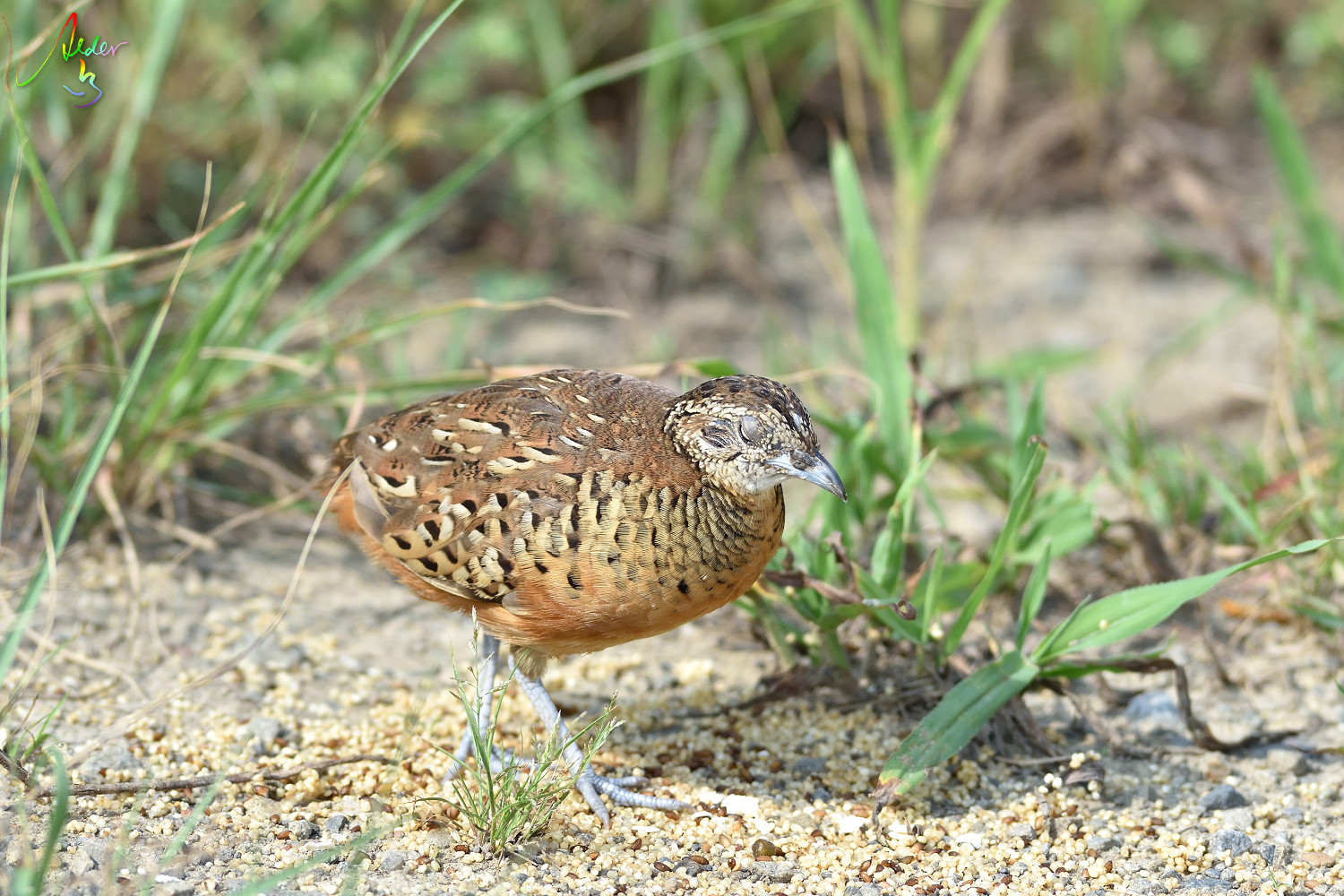 Barred_Butonquail_9383