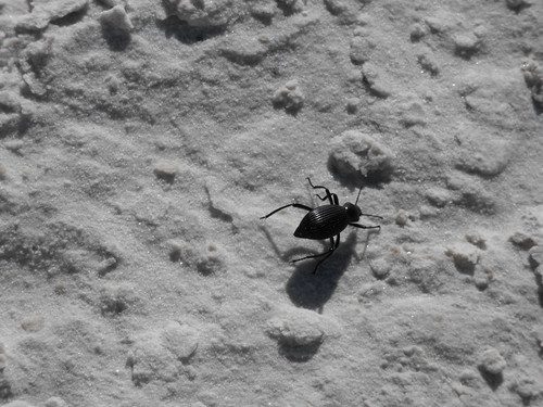Bug in White Sands National Monument | by pegase1972