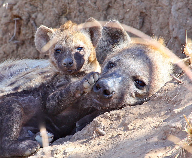 Spotted Hyena And Cubs Flickr Photo Sharing