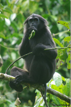 Pig Tailed Langur 2 Picture Taken From The Island Of Siber Flickr