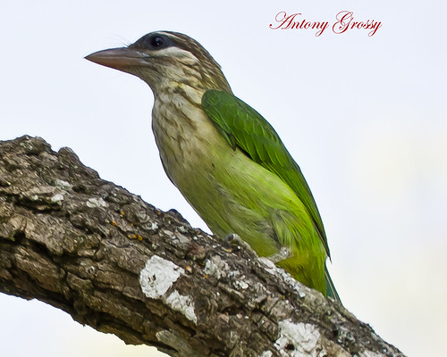 White Cheeked Barbet or Small Green Barbet | by AntoGros