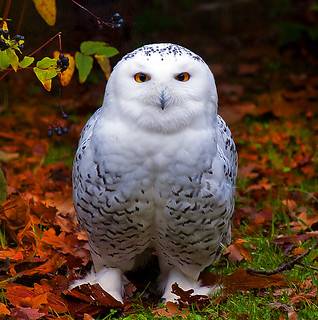 Snowy Owl in Autumn (EXPLORE) | by Steve Wilson - over 7 million views Thanks !!