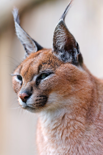 Portrait of a caracal | by Tambako the Jaguar
