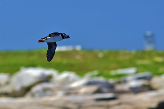 Puffin flyby | by Don Seymour