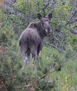 Bull Moose | by Wild Chroma
