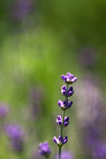 Lavender | by Photo Amy
