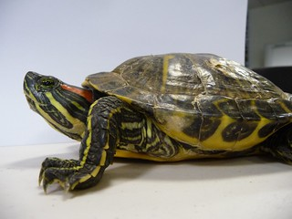 red-eared slider turtle | by Department of Environment & Primary Industries