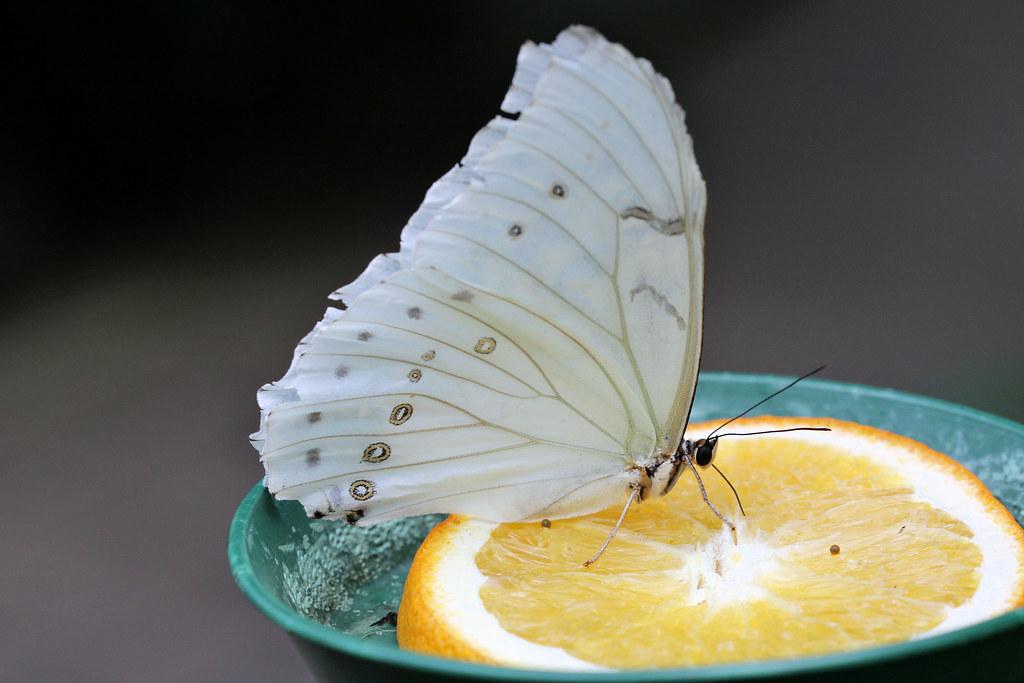 Schmetterlinge Futterung 04 Weisser Prachtfalter Fotograf Flickr