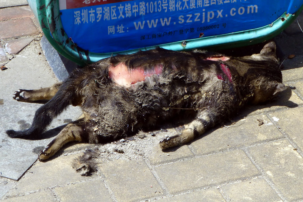 Dead cat in street Shenzhen China | Must have been hit by ...