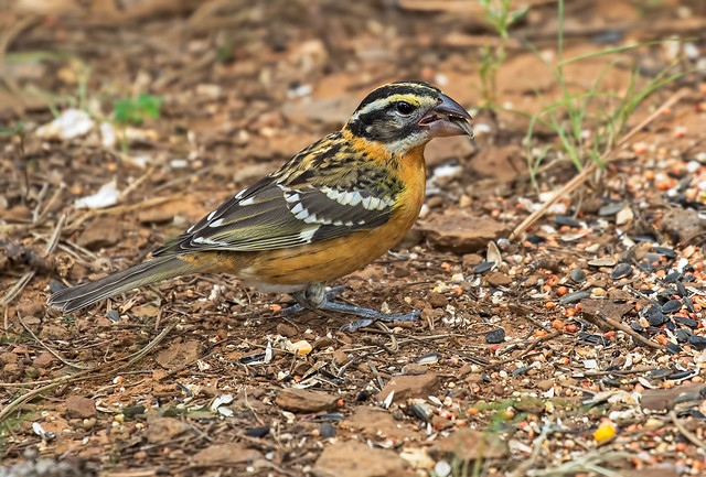 Black-headed-Grosbeak-10-7D2-081916