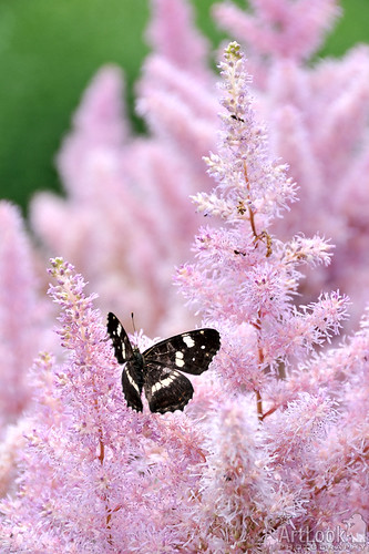 Butterfly on Astilbe | by Guide, driver and photographer in Moscow, Russia