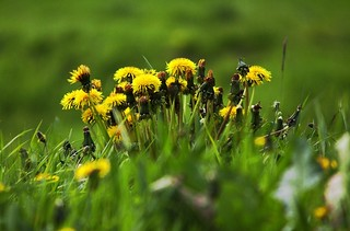 A Crown of ... Dandelions! | by Chrissie28IWish! ~ hubby on the mend hopefully!