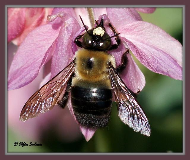 DSC00923 Male Carpenter Bee (Male carpenter bees have a ...