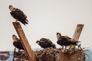 Osprey family | by The Suss-Man (Mike)