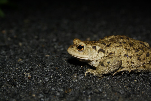 Common Toad | by erikpaterson