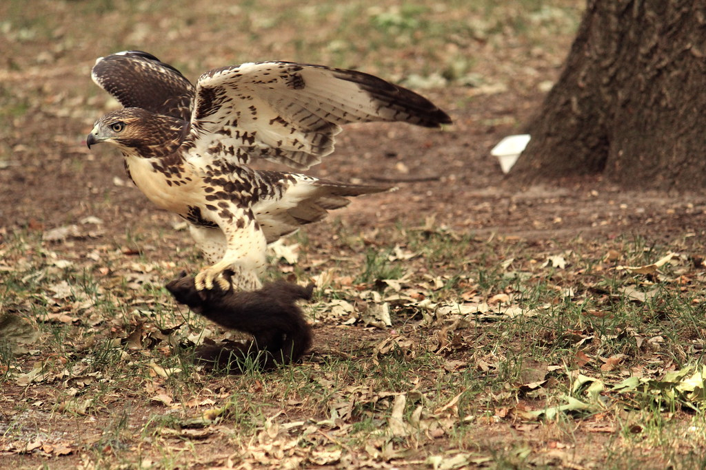 Red Tailed Hawk Eats Dog Red Tailed Hawk Leaving With