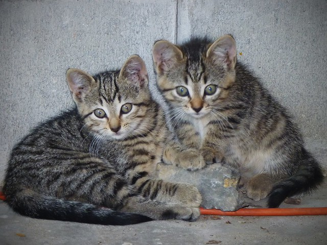 Can Kittens Go Straight From Powdered Milk To Hard Food