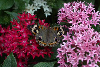 Buckeye At Blooming Butterflies | by kimberlyrenee photography