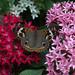 Buckeye At Blooming Butterflies