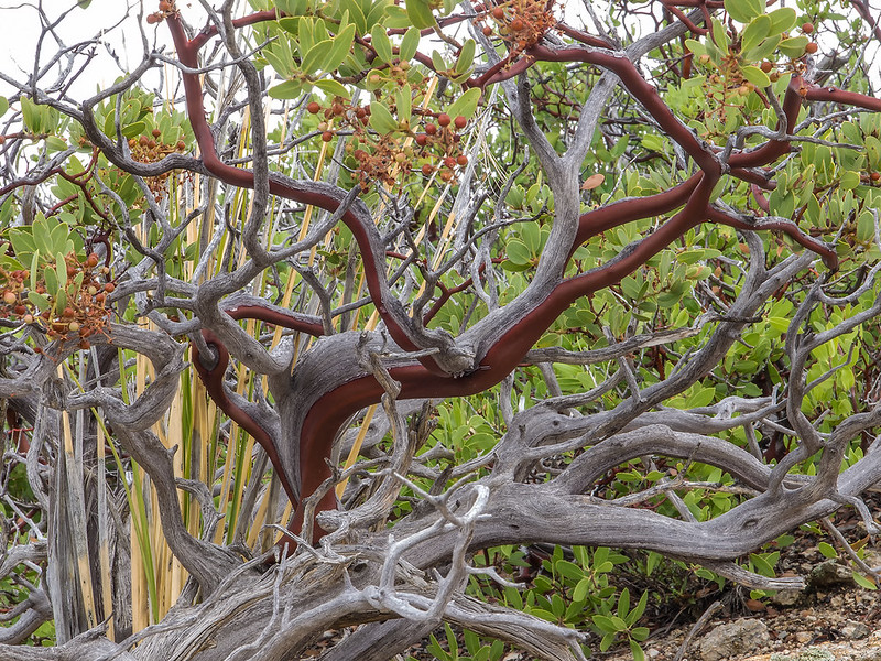 Manzanita with fruit