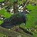 Nicobar Pigeon Caloenas nicobarica