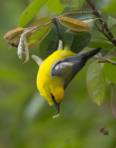 blue-winged warbler with prey | by Profiles of Nature
