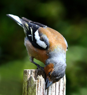 Chaffinch Foraging | by GemElle Photography - off & on sorry