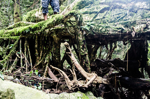 Double Decker Living Root Bridge | by ashwin kumar