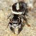 Aranha Saltadora // Jumping Spider (Pellenes geniculatus), female