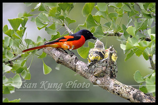 Scariet Minivet (Male) 10 | by tsankung2009