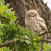 Little Owl Summer Oak