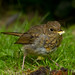 Juvenile Robin Makes It Debut