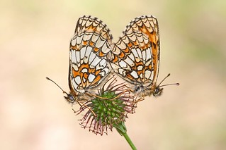 Heath Fritillary (Mellicta athalia) | by Ray Seagrove