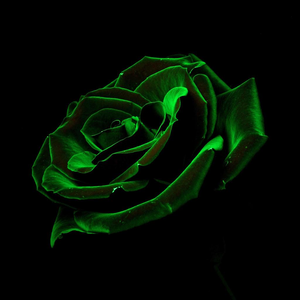 dark-green-roses